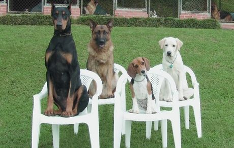 "Four Dogs sitting (""placing"") in chairs"