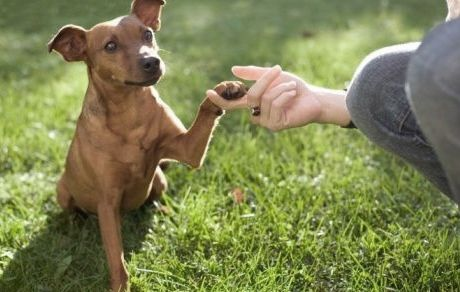 Small dog shaking hands with paw